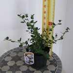 Ceanothus Thyrsiflorus Yankee Point (Californian Lilac)