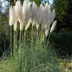 Cortaderia Selloana (Pampas Grass) 5Ltr