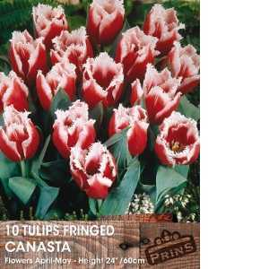 Tulip Bulbs Fringed Canasta 10 Per Pack