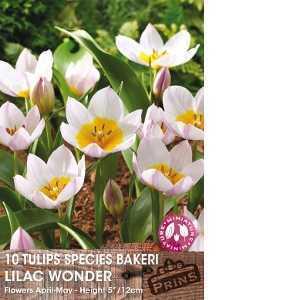 Tulip Bulbs Species Bakeri Lilac Wonder 10 Per Pack