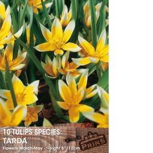 Tulip Bulbs Species Tarda 10 Per Pack