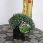 Dianthus Gratianapolitanis Bluegrass 2ltr