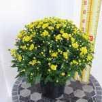 Chrysanthemum Yellow Hardy