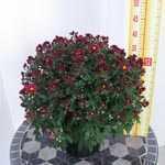 Chrysanthemum Fuchsia Pink Hardy