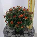 Chrysanthemum Orange Hardy 3ltr