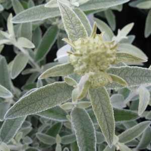 Buddleia Davidii Silver Anniversary Morning Mist (Butterfly Bush)