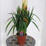 Crocosmia African Beauty (Montbretia) 3ltr