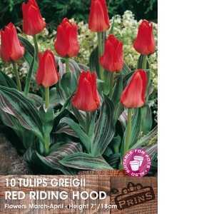 Tulip Bulbs Greigii Red Riding Hood 10 Per Pack