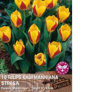 Tulip Bulbs Kaufmanniana Stresa 10 Per Pack