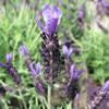 Lavender Butterfly Garden Giant Summer