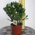 Crassula Ovata Good Luck Tree (Money Tree  Money Plant) Jade Plant