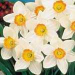 Daffodil Bulbs Aflame 25kg Sack