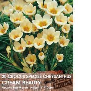 Crocus Bulbs Species Chrysanthus Cream Beauty 20 Per Pack