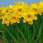 Daffodil Bulbs Large Cupped Gigantic Star 3Kg Bag