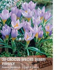 Crocus Bulbs Species Sieberi Firefly 20 Per Pack
