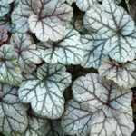 Heuchera Silver Scrolls (Coral Flower)