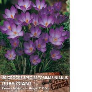 Crocus Bulbs Species Tommasinianus Ruby Giant 20 Per Pack