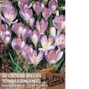 Crocus Bulbs Species Tommasinianus 20 Per Pack