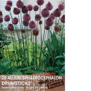 Allium Bulbs Sphaerocephalon Drumsticks 20 Per Pack