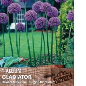 Allium Bulb Gladiator 1 Per Pack