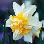 Daffodil Bulbs Double White Lion 3Kg Bag