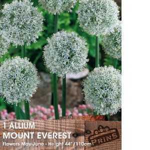 Allium Bulb Mount Everest 1 Per Pack