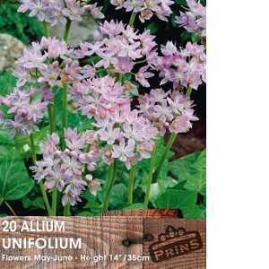 Allium Bulb Unifolium 20 Per Pack