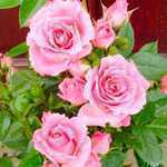 Rose Bush Carefree Days (Miniature/Patio Rose) 4Ltr Fuschia Pink