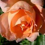 Rose Bush Flower Power (Patio/Miniature Rose) Salmon Pink 4Ltr