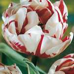 Tulip Bulbs Double Late Carnaval de Nice 10 Per Pack