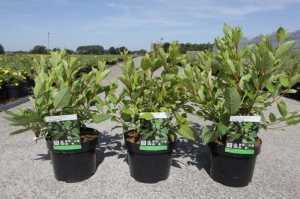 Cephalanthus Occidentalis (Button Bush)
