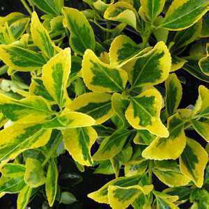 Euonymus Hedging