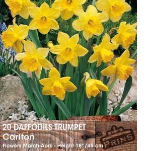 Narcissus / daffodil bulbs