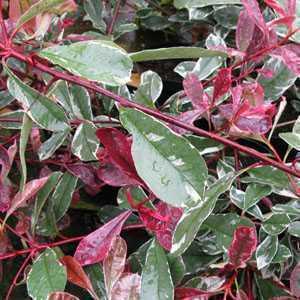 Photinia x Fraseri Pink Marble Hedging