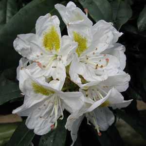 Azalea, Rhododendron & Camellia