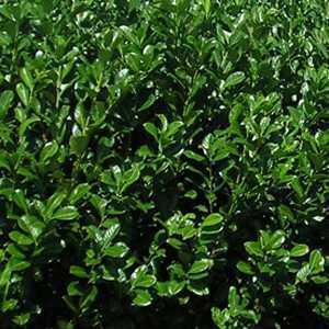 Laurel Hedging (Prunus Rotundifolia)