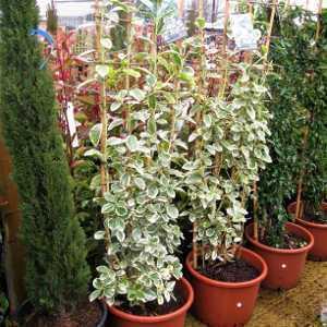 Large Trellis Climbing Plants